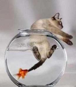 goldfishattackscat
